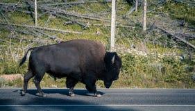 Bison på vägen Arkivbilder