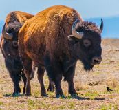 Bison Pair and Bird In A Field. A pair of majestic bison in a field, a small bird on the ground in front of them. It is interesting to see their immense power stock photos