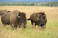 Bison Pair. A pair of bison, in a herd, feed on a hillside pasture in Grand Teton National Park, Wyoming, USA Stock Photography