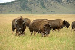 Bison Pair. A pair of bison, in a large herd, feeding on a hillside grassland in Grand Teton National Park, Wyoming, USA Stock Photo