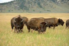 Bison Pair Stock Photo