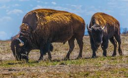 Bison Pair Standing In A Field 1. A pair of bison grazing in a field, blue skies and light clouds in the background stock images