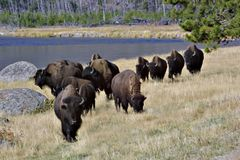 Bison on Parade Royalty Free Stock Image