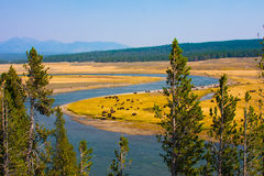 Bison paradise in Yellowstone National Park royalty free stock photo