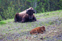 Bison Parent and Calf Stock Photography