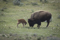 Bison in the park. Mother bison teaching her baby Royalty Free Stock Photography