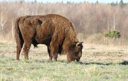 Bison pasturing Royalty Free Stock Photography