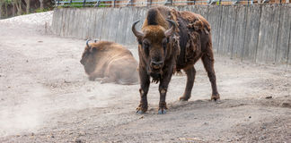 Bison with peeling hair Stock Photo