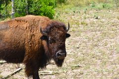 Bison Photography arkivfoto