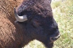 Bison Photography royaltyfri bild