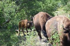 Bison Photography stockbild