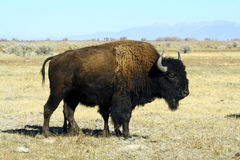 Bison on the Plains Royalty Free Stock Photography