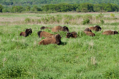 Bison on the Plains Stock Photos