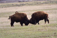 Bison Play Fighting Stock Photo