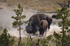 Bison playing in the dirt stock images
