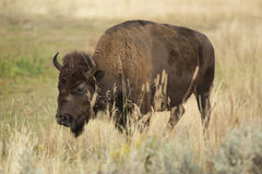 Bison plodding through tall grasses, Yellowstone. Royalty Free Stock Photography