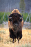 Bison portrait Stock Photos