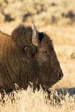 Bison portrait in deep grass Royalty Free Stock Photo