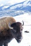 Bison Portrait en neige et montagnes Image stock