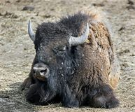Bison 13 Stock Photos