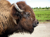 Bison portrait in profile. Portrait of a bison in profile Royalty Free Stock Image