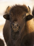 Bison portrait, up close and very personal, grass on face Stock Photo