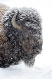 Bison portrait in winter Royalty Free Stock Image
