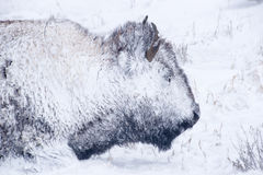 Bison Portrait in Winter Blizzard. Yellowstone bison hunker down to survive during a spring blizzard royalty free stock image