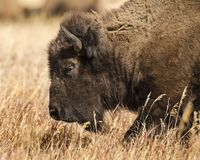 Bison close up massive head. Bison posing for the photographer Grand Teton National Park, Wyoming, USA royalty free stock images
