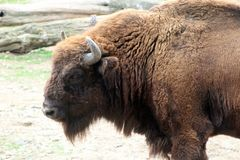 Bison am Prag-Zoo stockfotos