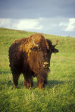 Bison on the Prairie Stock Photos