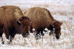 Bison on prairie Royalty Free Stock Photo