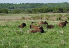 Bison on the Prairie. A herd of wild bison rests on the praiire Stock Image