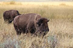 Bison on the Prairie Stock Images