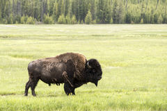 Bison on Prairie. Bison standing in a prairie at Yellowstone National Park. The bison in the Yellowstone Park bison herd are American bison of the Plains bison royalty free stock photo