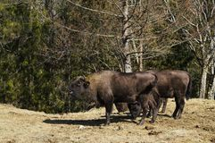 Bison on the Prairied. royalty free stock photography