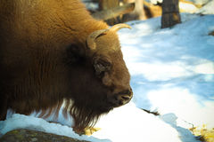 Bison Stock Image