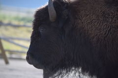 Bison profile. Profile of a bison in Yellowstone National Park Stock Images