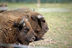 Bison Profiles Royalty-vrije Stock Afbeelding