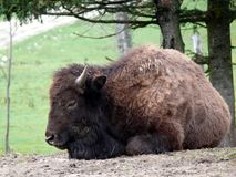 Bison in Quebec. Canada, north America. Bison in Quebec. Canada north America royalty free stock image