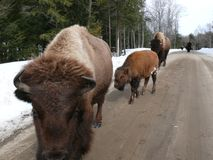 Bison in Quebec. Canada, north America. Bison in Quebec. Canada north America royalty free stock photography