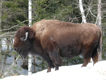 Bison in Quebec. Canada, north America. Bison in Quebec. Canada north America stock images
