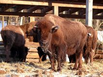 Bison in Quebec. Canada, north America. Bison in Quebec. Canada north America stock photo