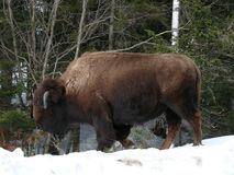 Bison in Quebec. Canada, north America. Bison in Quebec. Canada north America royalty free stock images