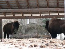 Bison in Quebec. Canada, north America. Bison in Quebec. Canada north America stock photography