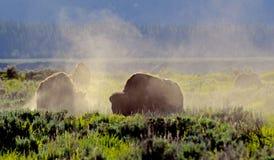 Bison rétro-éclairé dans un domaine de la poussière. images libres de droits