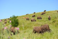 Bison ranch Royalty Free Stock Images