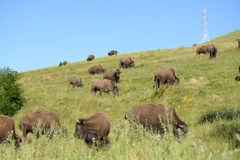 Bison ranch royalty free stock image