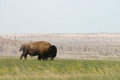 Bison on the Range Stock Photography