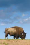 Bison on the range Stock Photo